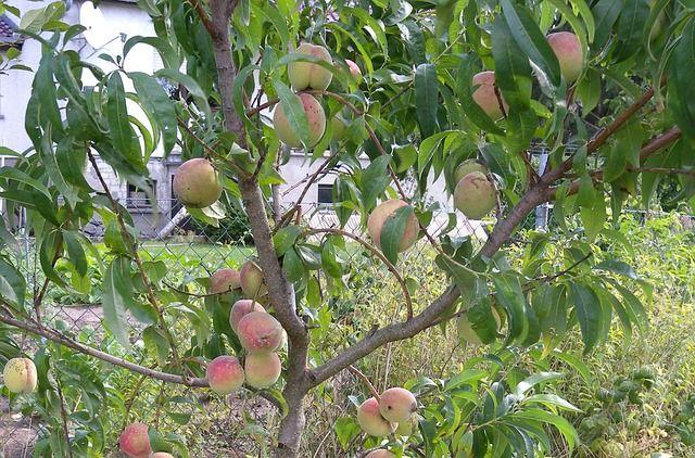 Pfirsichbaum pflanzen schneiden und pflegen gardens - Pfirsichbaum im garten ...