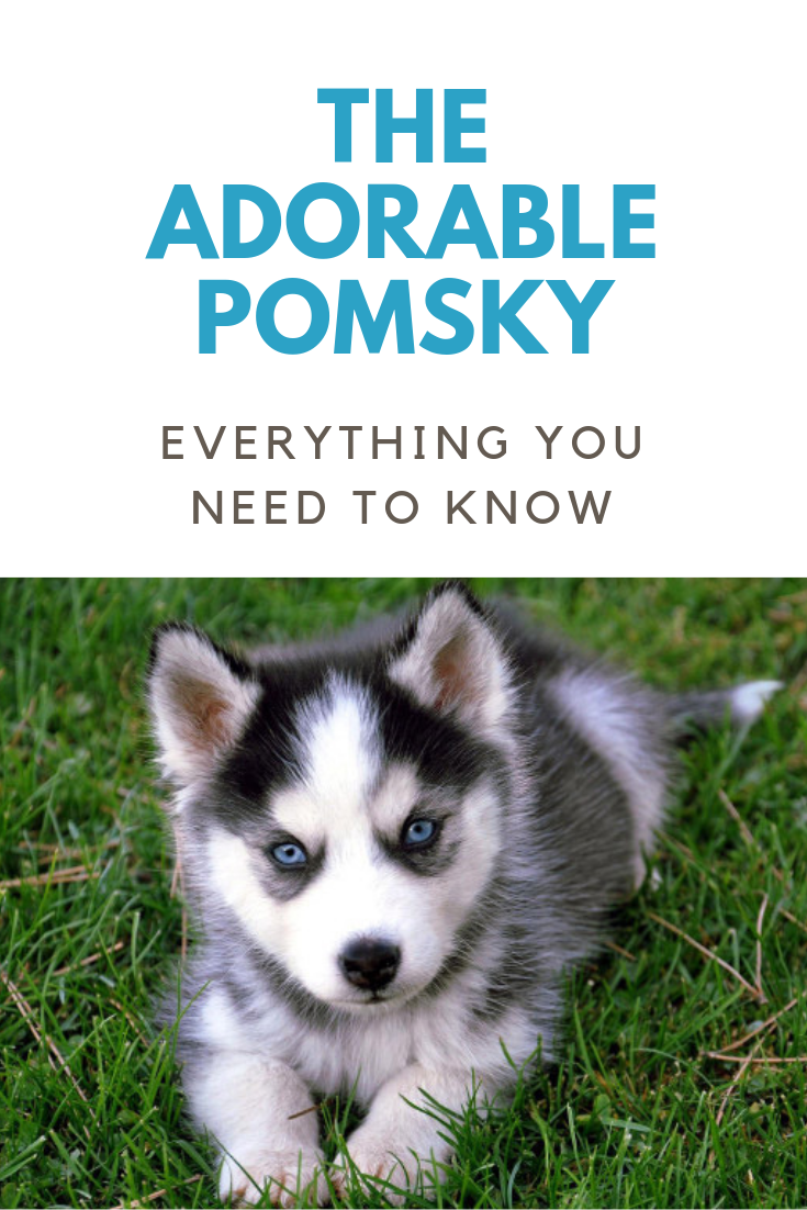 The Pomeranian Husky Mix (Pomsky) Is it the perfect dog