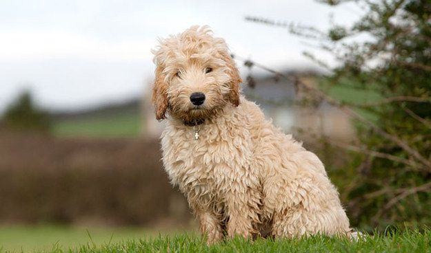 Which Popular Poodle Mixed Breed Are You Cockapoo Dog Poodle