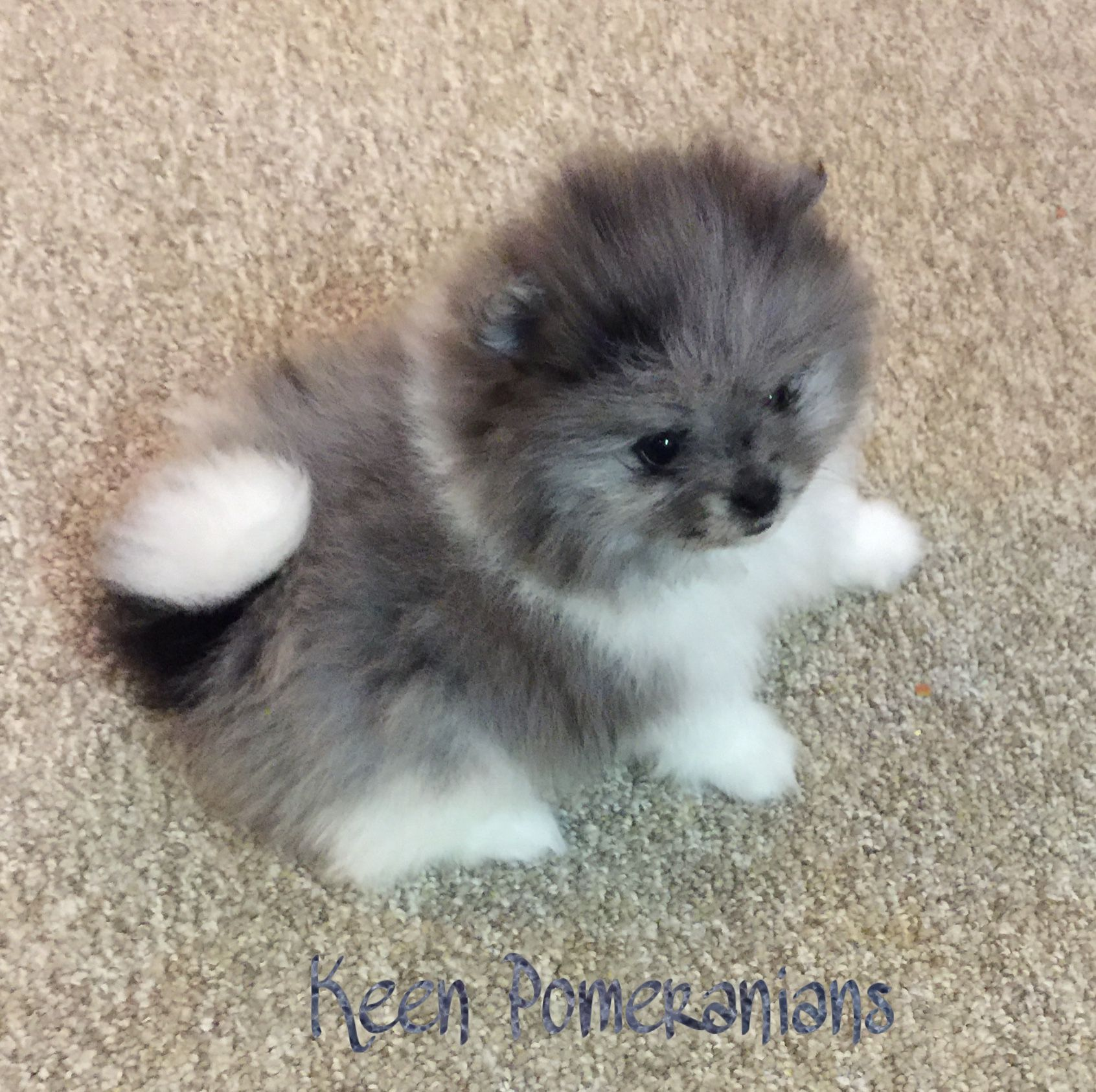 Blue merle parti image property of keen pomeranians merle blue merle parti image property of keen pomeranians nvjuhfo Image collections