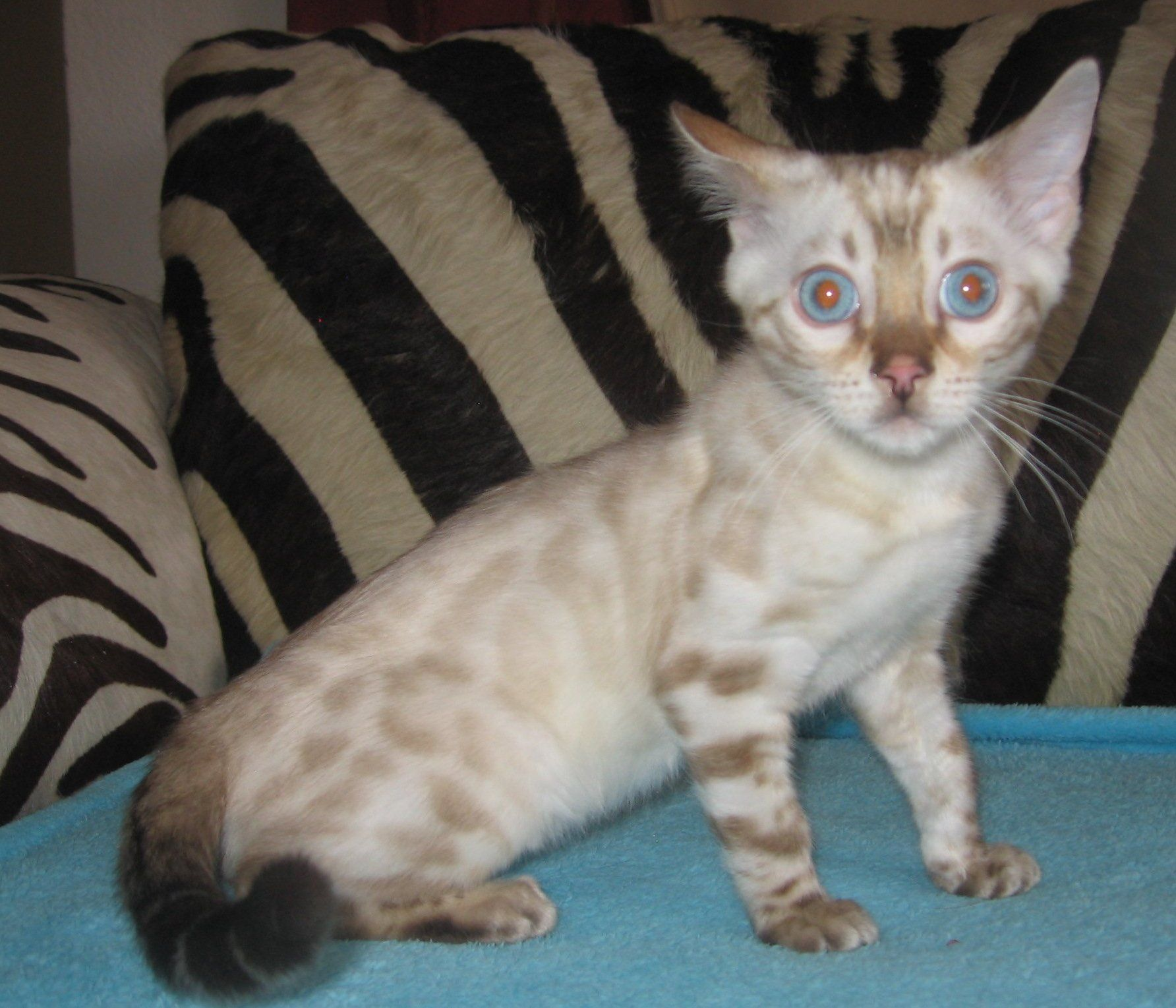 Bengal kittens for sale Colorado http://ift.tt/2nU2DYj | Cute ...