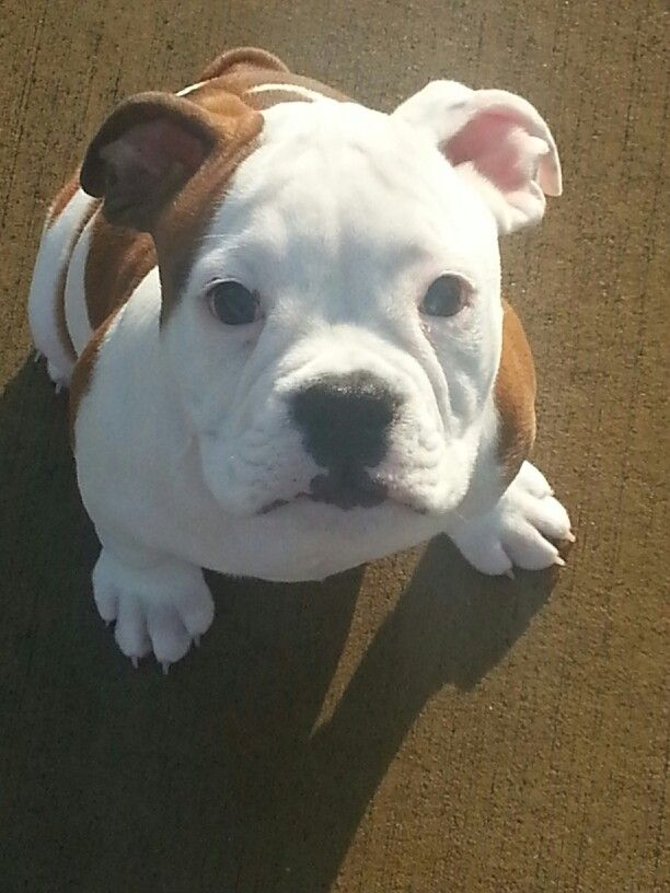 My Baby Boy Chaucer Olde English Bulldog Bulldog Puppies