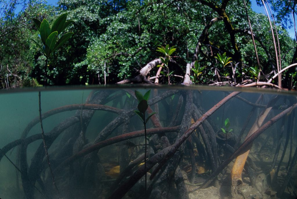 Gallery For > Mangrove Roots Underwater | Underwater ...