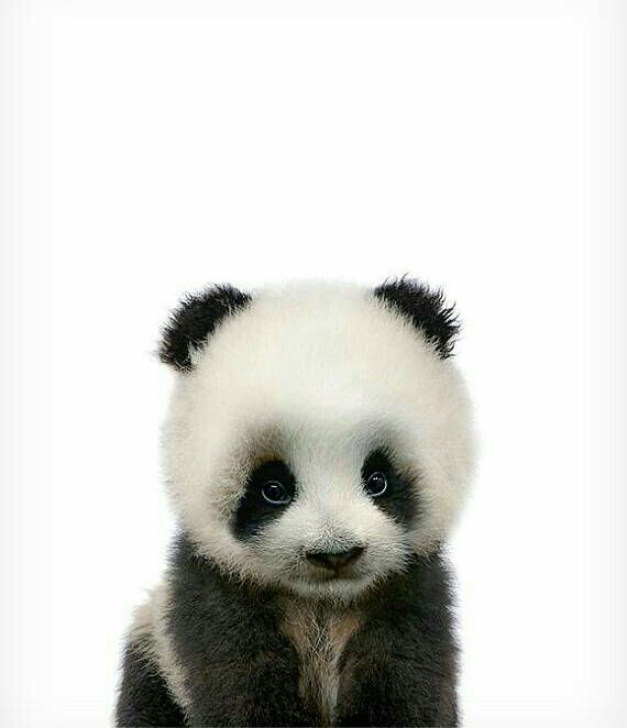 Baby panda zo schattig #babypandabears