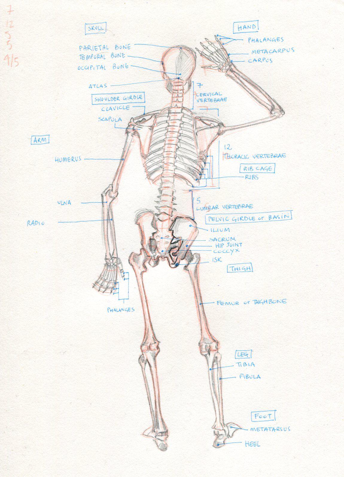 Skeleton - Back