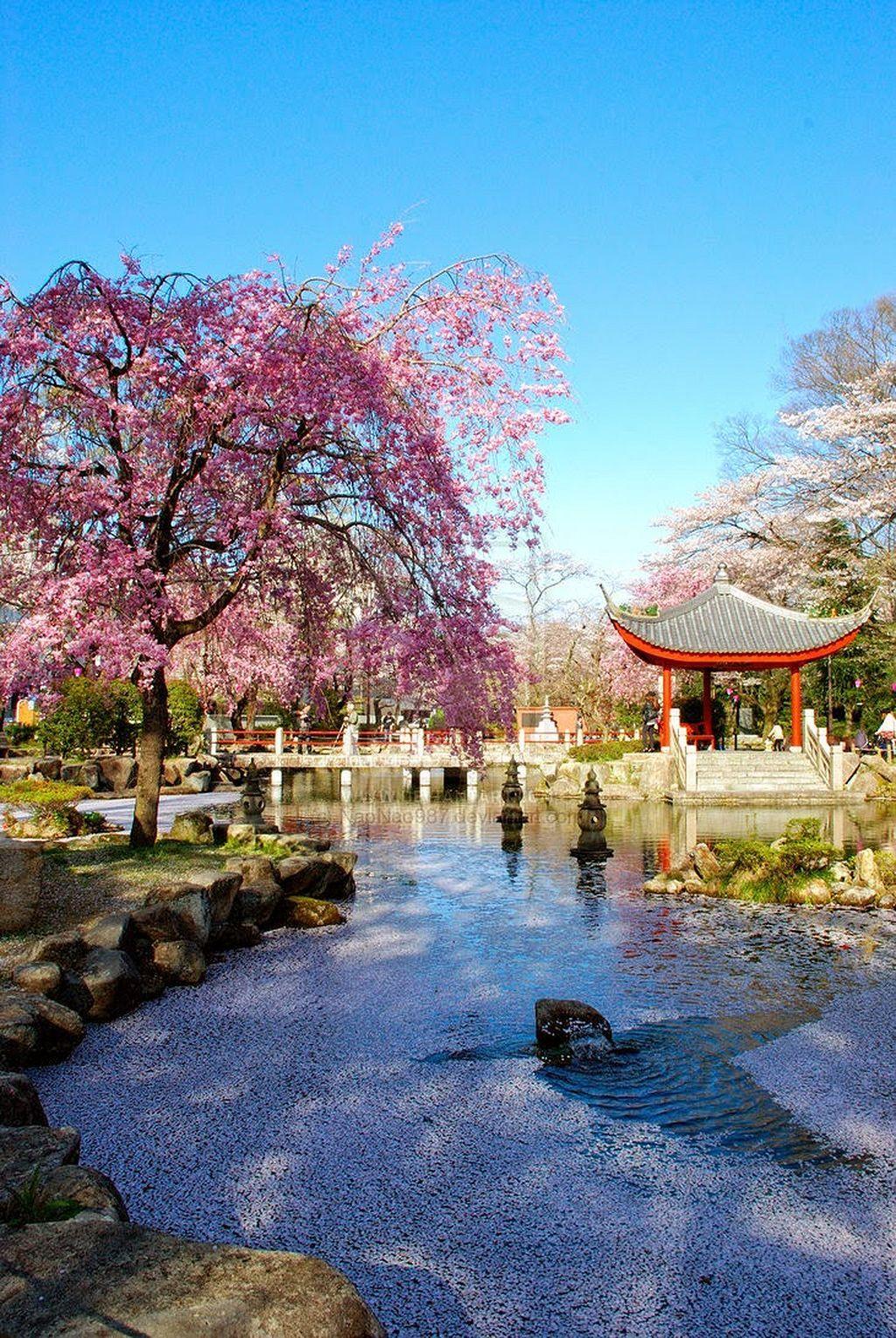 Awesome 20 Beautiful Cherry Blossom Garden Https Gardenmagz Com 20 Beautiful Cherry Blossom Gard Cherry Blossom Japan Japanese Garden Design Japanese Garden