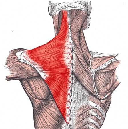 PHYSIO ANSWERS: The Trapezius Muscle Myth. Pinned by SOS Inc ...
