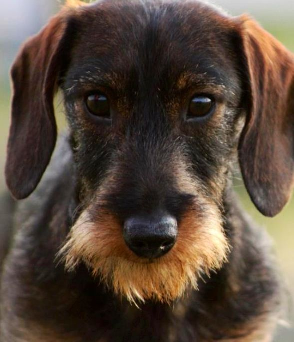 Wild Boar Wirehair So Cool Dogs Wire Haired Dachshund