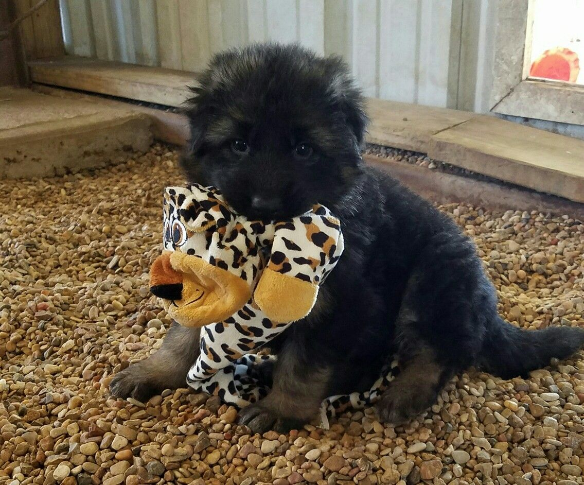 Akc longhair female german shepherd puppy playing with her