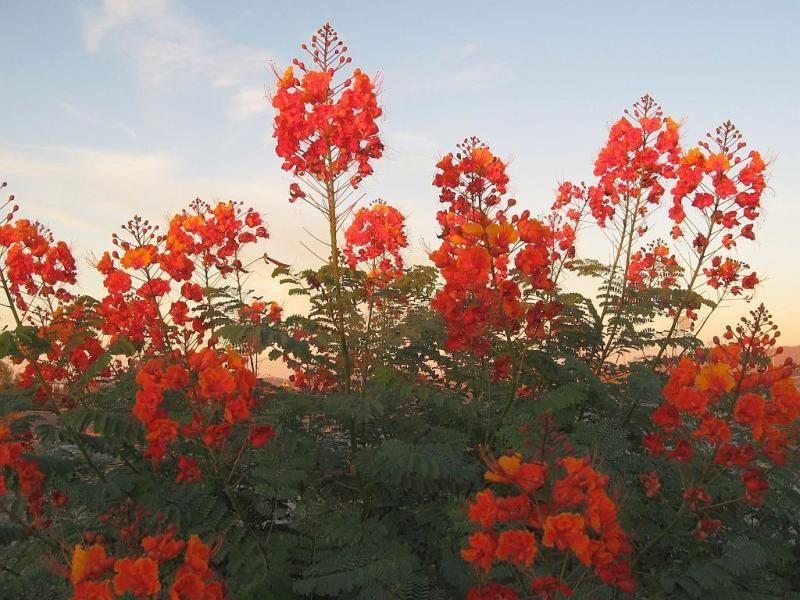 caesalpinia pulcherrima pride of barbados native plant texas austin drought tolerant deer proof