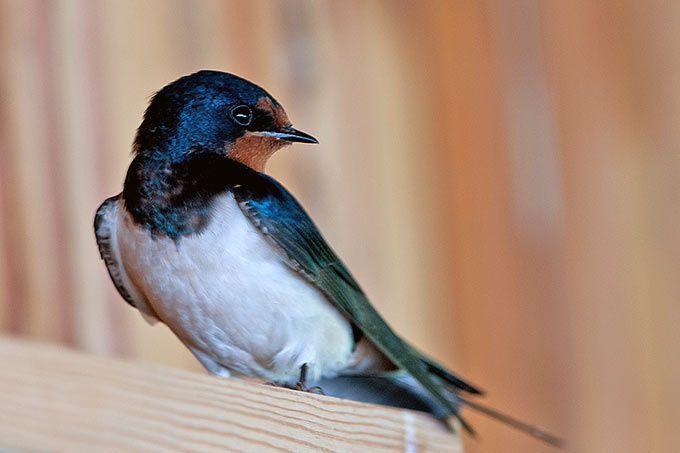 rauchschwalbe foto olaf pfl ger birds einheimische. Black Bedroom Furniture Sets. Home Design Ideas