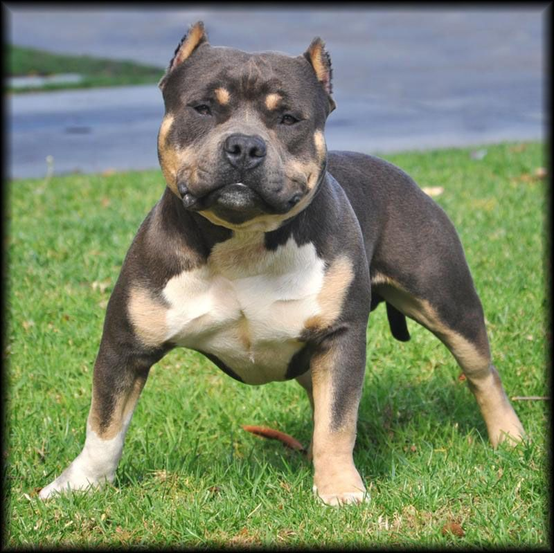 Pitbull Dogs Tri Color Pitbull Eternal Doom Tricolor Bully