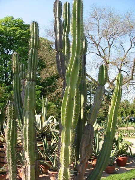 Cactus - Cereus jamacaru.