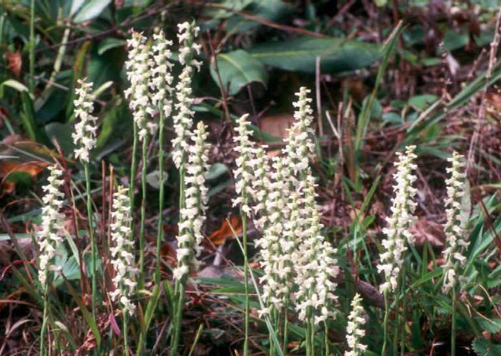 Nodding Lady S Tresses Info Growing Nodding Lady S Tresses Plants Plants Garden Orchid Care
