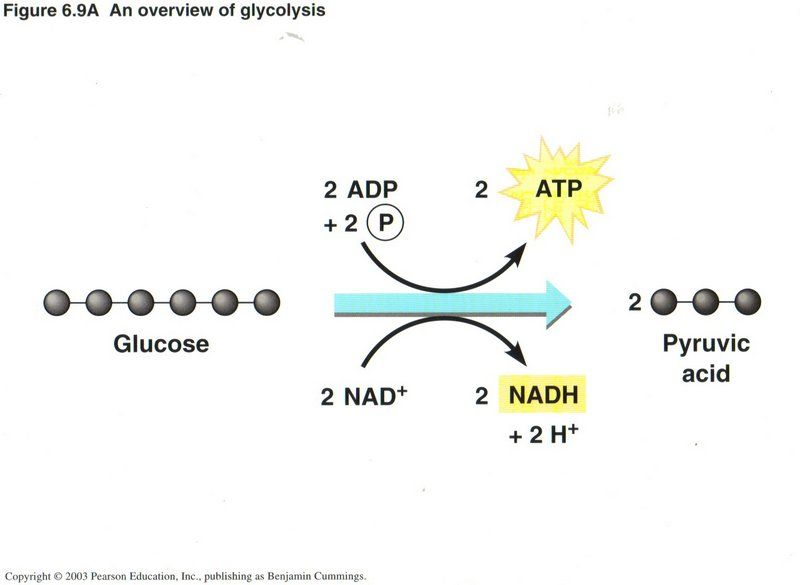 output for glycolysis  1  2 atps and  2  2 nadhs