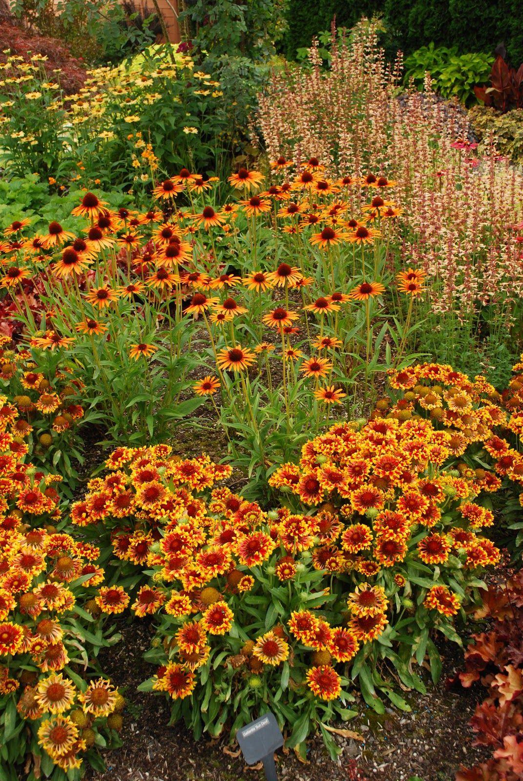 Rudbeckias, Gaillardias, and Coneflowers GardenBook | Perennials ...