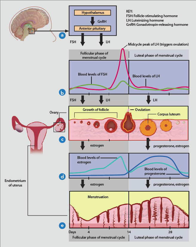 A Woman S Cycle And The Different Phases Duinum Female Reproductive System Anatomy Clomid Reproductive System