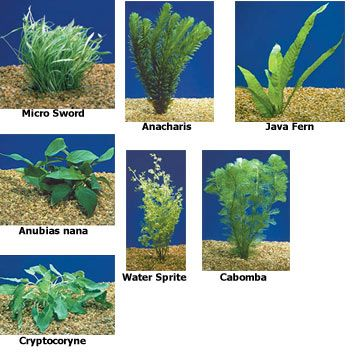 Aquarium plant standard pack from for Freshwater pond plants