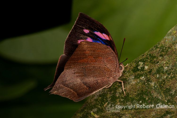 Now to butterflies! The imprint of the colors on the interior side of the wing shows through on the outer side of the wing