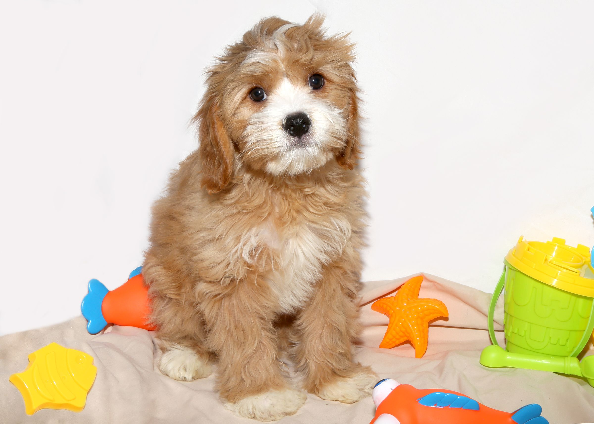 Cavachon puppy, one of two brothers, for sale at Puppy