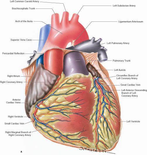 Heart Anatomy   Medicine, physiology, and natural healing ...