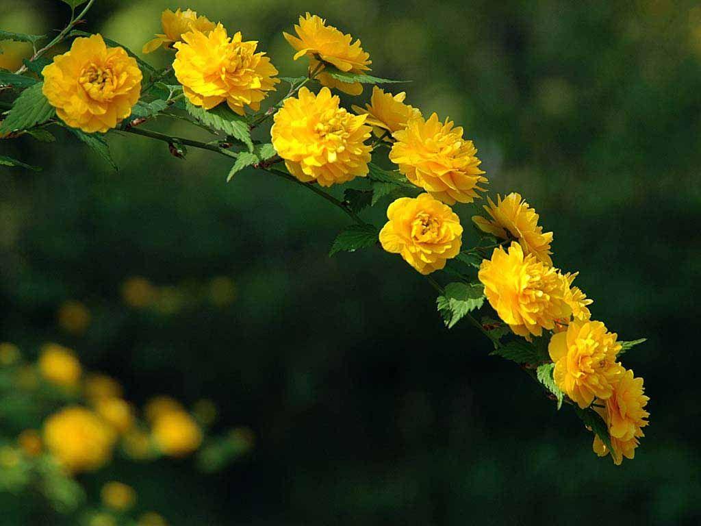 Kerria japonica 'Pleniflora'. Spring Shrubs Pinterest