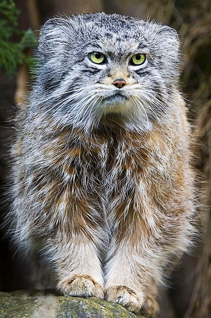 Food On Tap Small Wild Cats Wild Cats Pallas S Cat