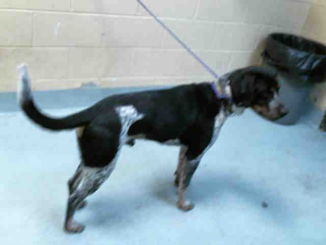 Bluetick Coonhound Dog For Adoption In Tulsa Ok Adn 407388 On