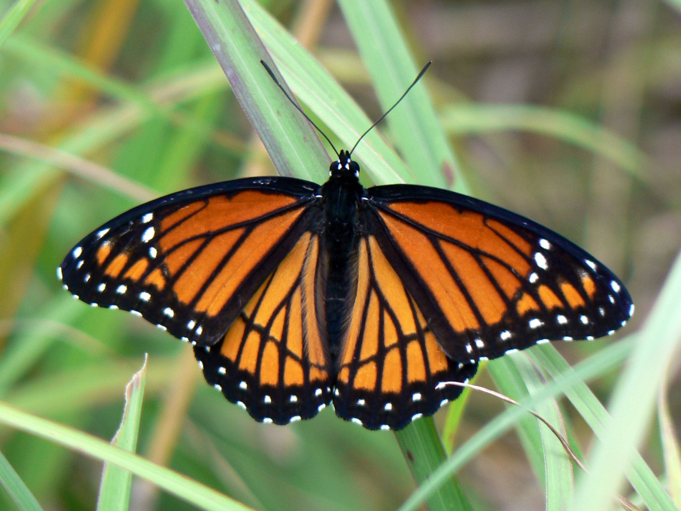 Butterflies Pictures Viceroy Butterfly A Mimic Of The Monarch