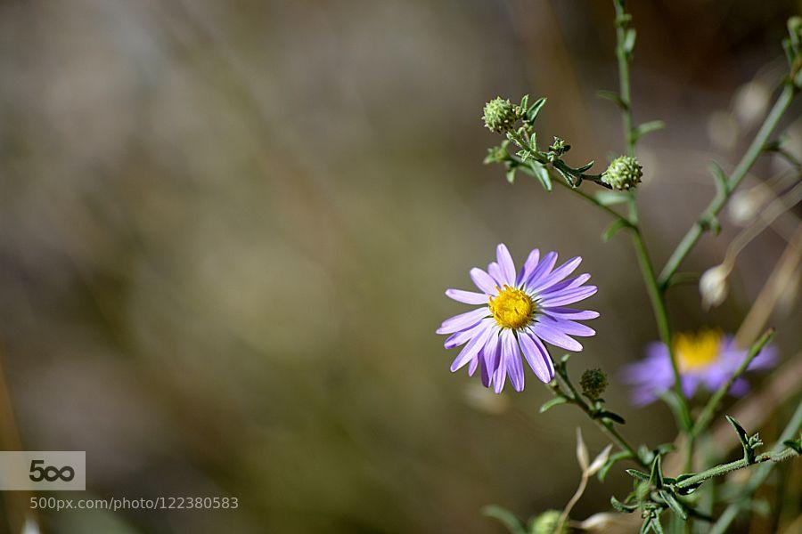 Aster des Alpes by pellegrinjc. Please Like http://fb.me/go4photos and Follow @go4fotos Thank You. :-)