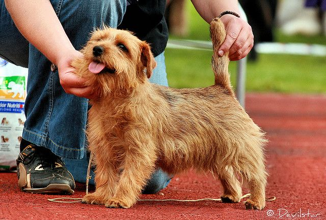 Norfolk Terrier (With images) | Norfolk terrier, Norwich ...