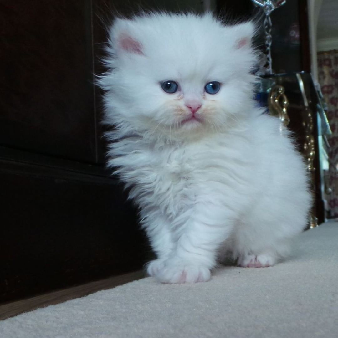 Pin By Alstonia Oney On Cats And Kittens Persian Kittens Flat