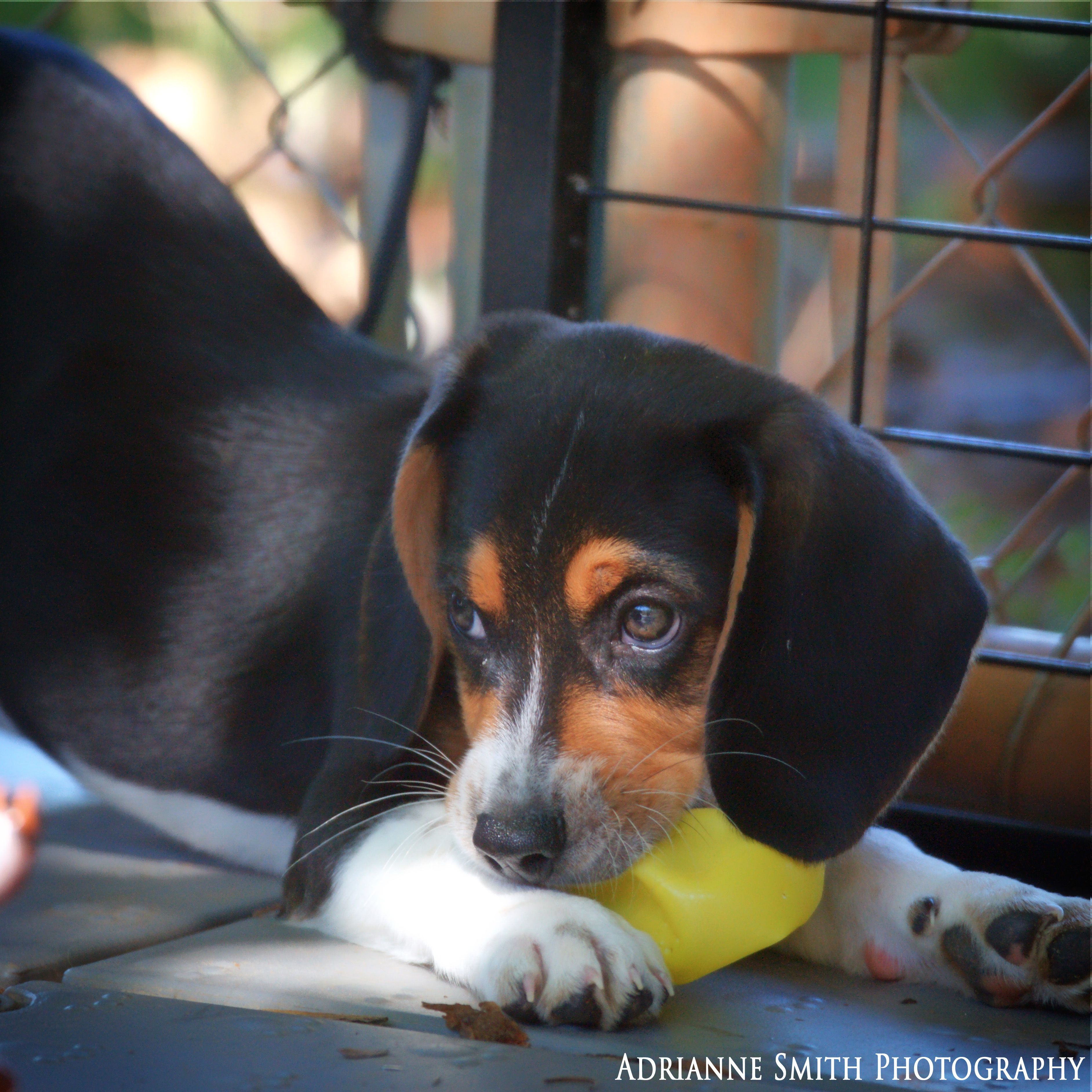 Update Adopted Nike Adoptable Beagle Puppy The Dolly Goodpuppy