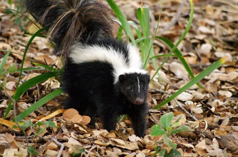 Skunks Often Remind Us That They Also Share Our Yard.