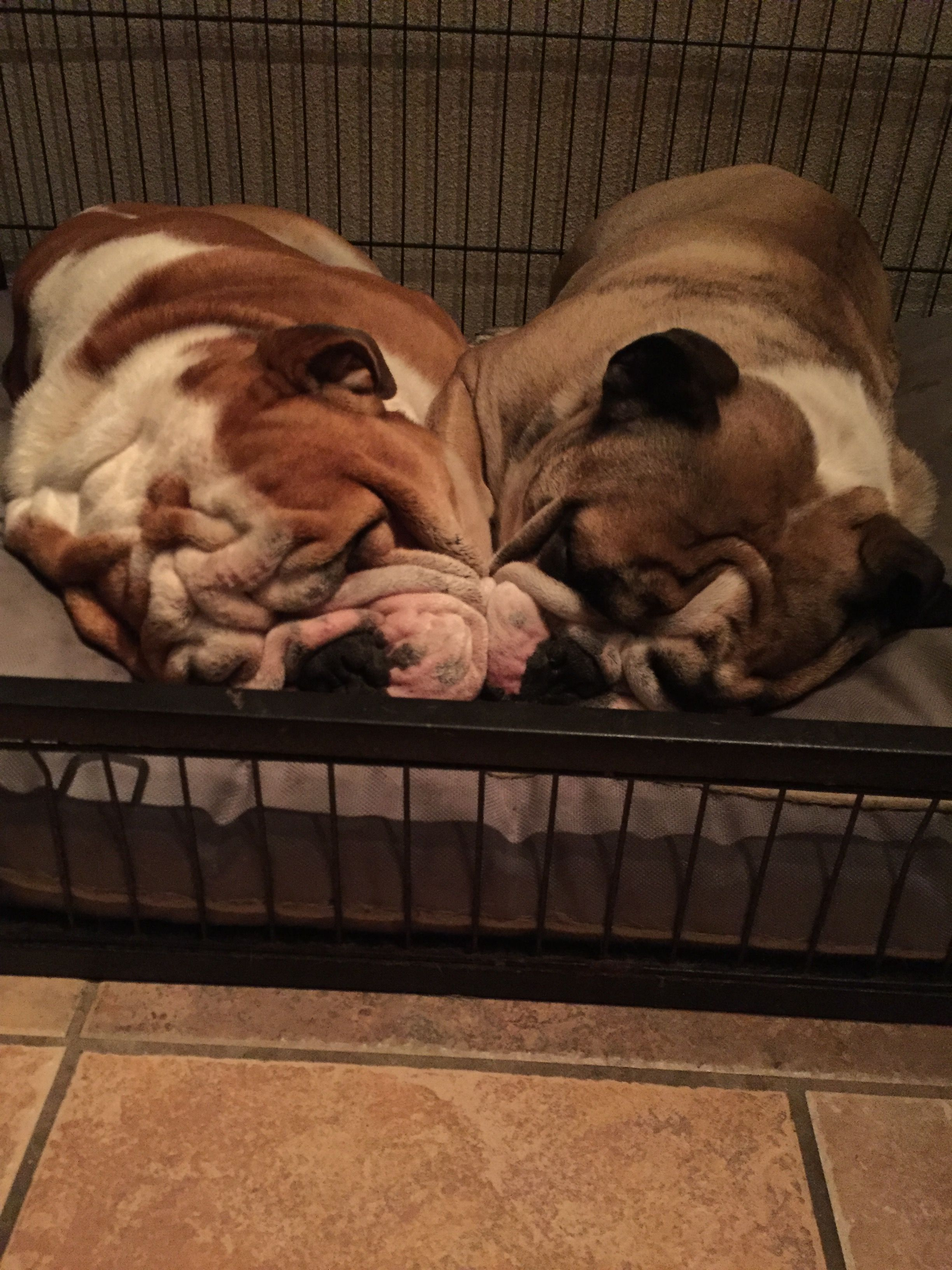 Pin By Dominique Fisher On Bulldogs English Bulldog Lover