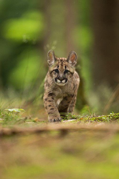 (via 500px / Puma concolor by Pavel Blažek)