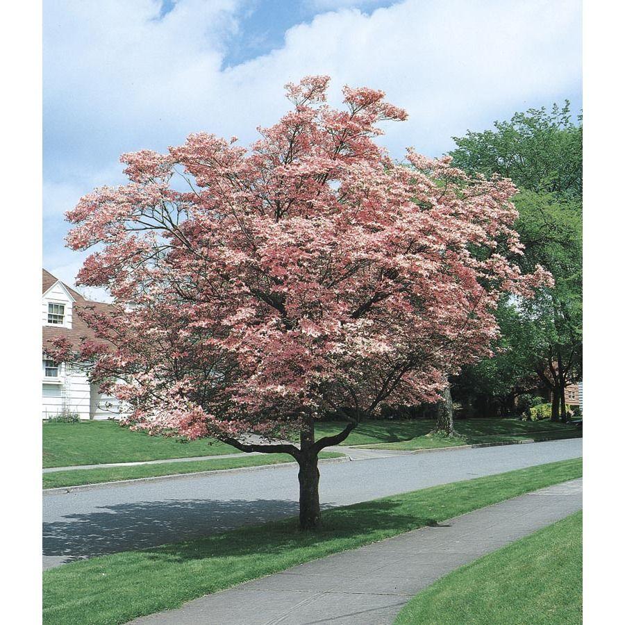 55 Gallon Pink Flowering Dogwood Flowering Tree L3181 In My