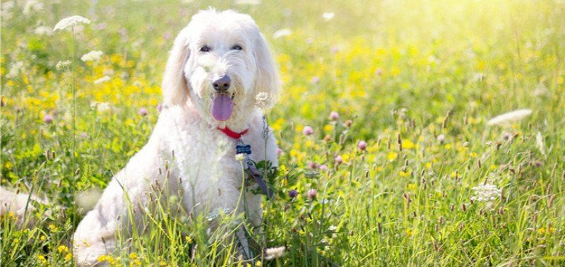 I M Willing To Bet You Ve Had Your Fair Share Of Trying To Brush Out The Thick Mats On Your Poodle Poodles Poodlesofficial In 2020 Labradoodle Goldendoodle Poodle