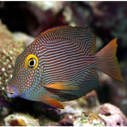 Yellow Eye Tang Hawaii Ctenochaetus Strigosus Saltwater Aquarium Marine Fish Sea Fish