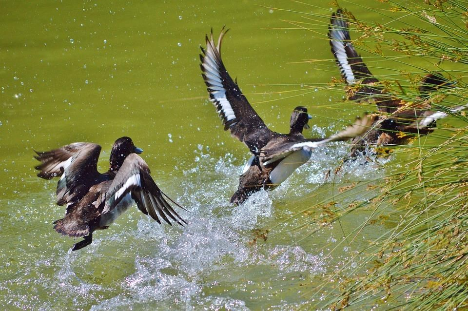How To Duck And Waterfowl Hunt Without A Dog 4 Tips And The Gear You Ll Need Waterfowl Hunting Arkansas Duck Hunting Duck Hunting
