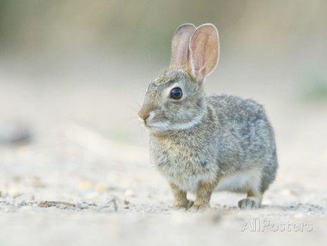 rob-tilley-desert-cottontail-rabbit-rio-grande-valley-texas-usa.jpg (473×355)
