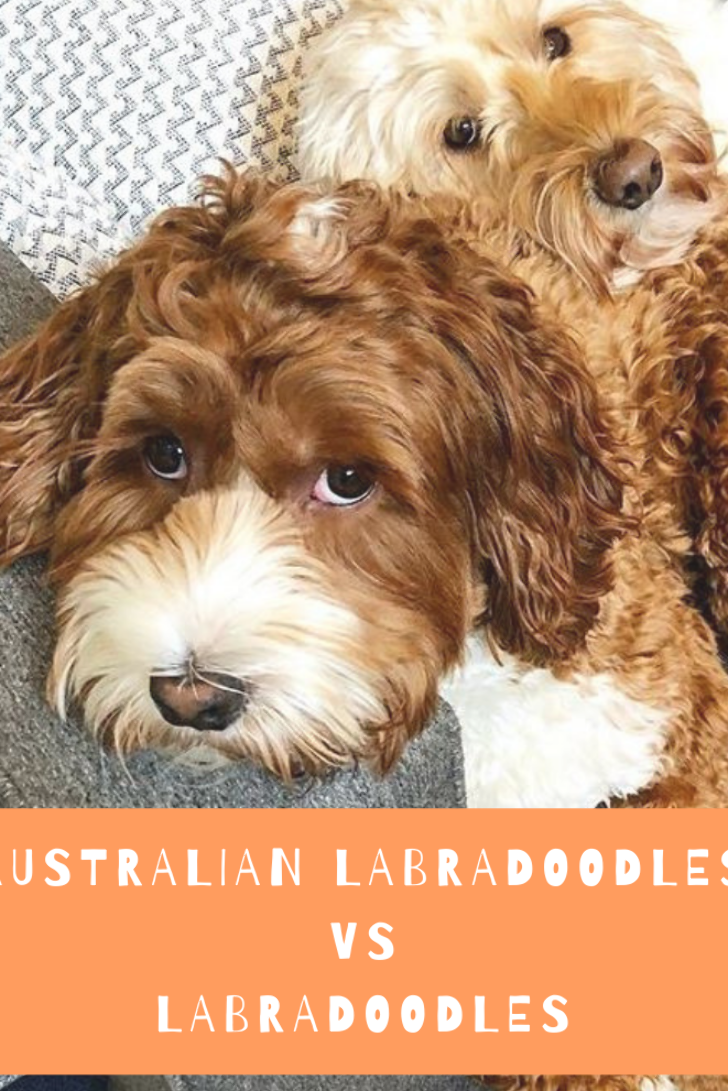 If You Are Thinking About Adopting A Labradoodle Puppy For The First Time Then You Might Fin In 2020 Australian Labradoodle Puppies Labradoodle Australian Labradoodle