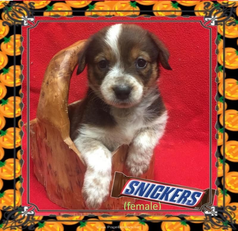 Adopt Snickers On Petfinder Australian Shepherd Australian Shepherd Training Puppy Adoption