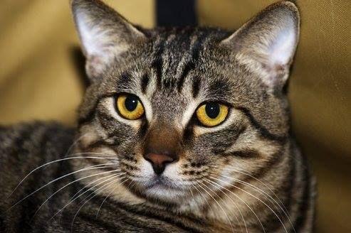 Chinese Li Hua American Bobtail Cat Cat Breeds Types Of Cats