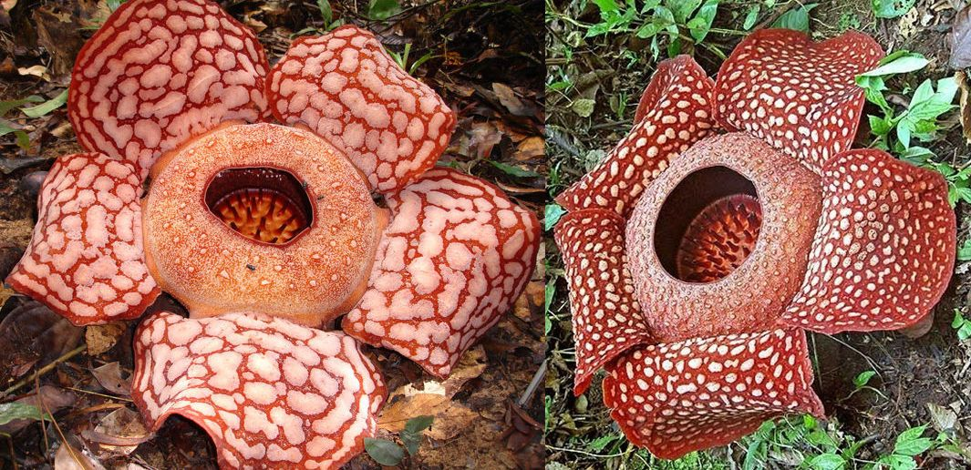 Rafflesia Arnoldii Is A Parasitic Plant That Lacks Chlorophyll And Bears A Single Very Large Flower That Smells Of Carrion Native To Malaysia And Indonesia