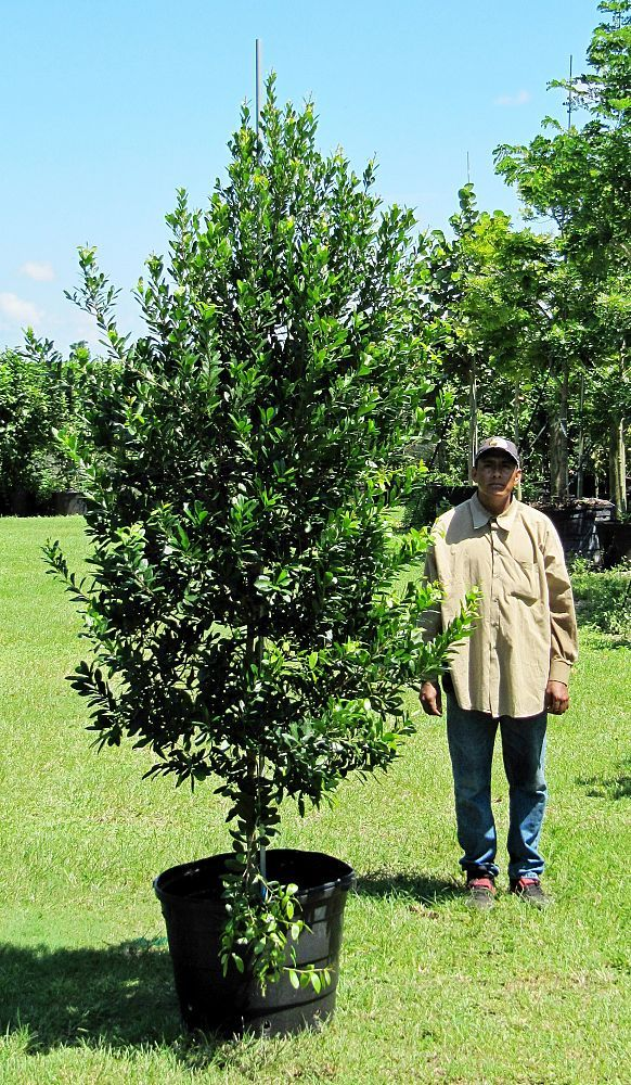 Crabwood Gymnanthes Lucida Canopy Tree Trees For