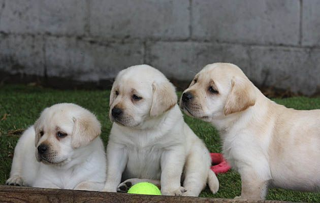 Sadona Labrador Retriever Puppies And Litters Available Puppies