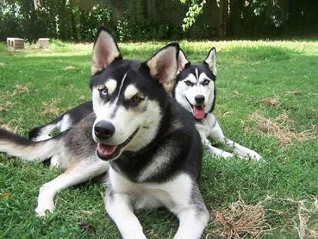 Floyd And Lucy Husky Animals Dogs