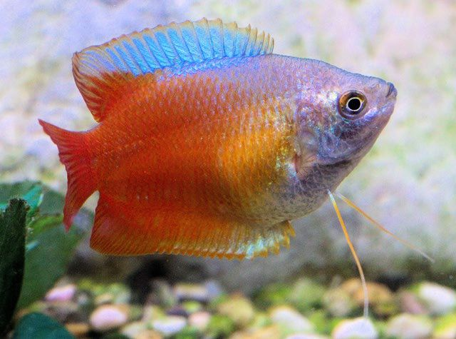The Dwarf Gourami Caring For Tropical Fish Tropical Fish Tropical Fish Aquarium Fish Breeding
