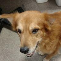 Rescue Pet Dog Urgent Adopt Golden Retriever